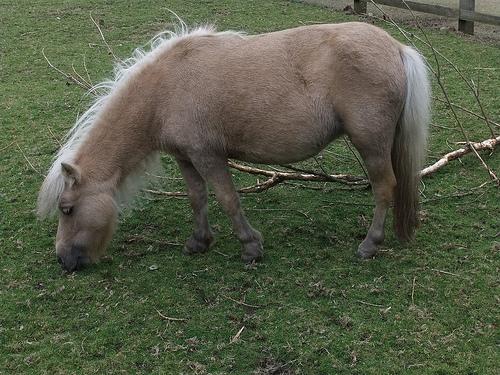 Mini horses animal